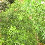 Римон - один из плодов Земли Исроэля
