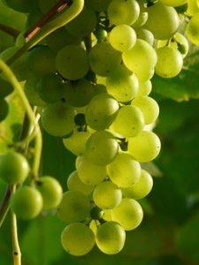 grapes-9215__340[1]